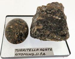 Picture of Turritella Agate (U.S.A.)